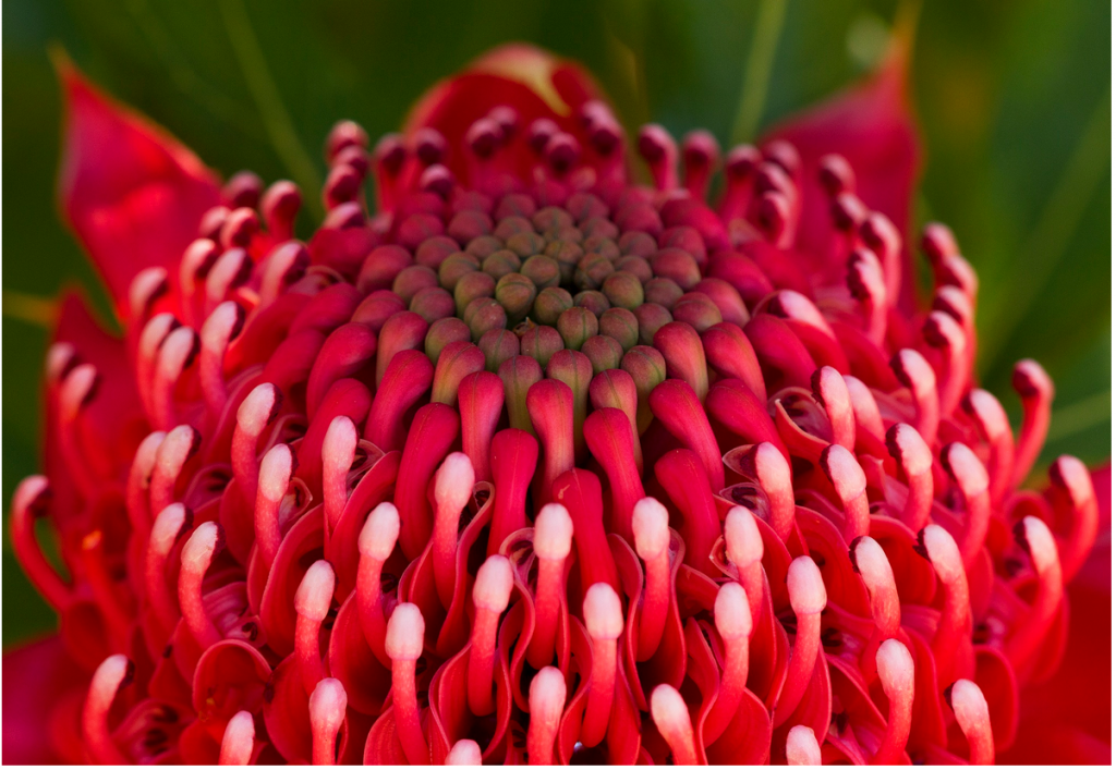 Waratah flower, as found in the Sydney Blue Mountains walkabout. Photo by Anna Calvert