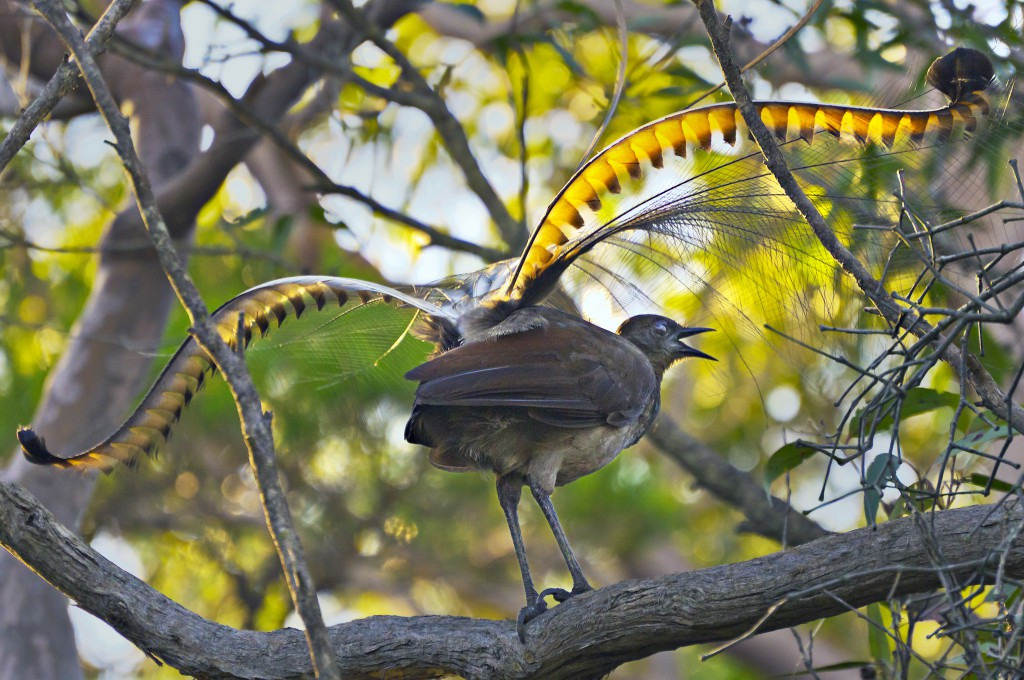Lyrebird, as found in the Sydney Blue Mountains walkabout. Photo by Ian Woodforth