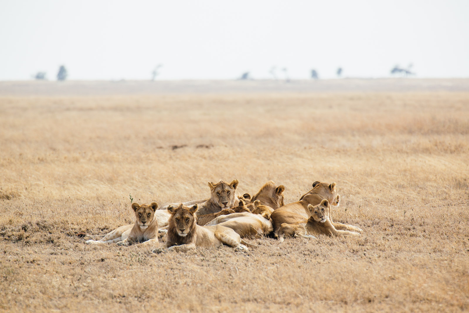 A pride of lions sits in the short, dry grassland of Serengeti National Park.
