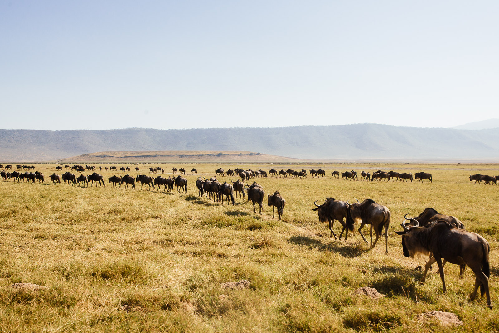 Line of wildebeest travelling in a migratory circle from Tanzania to Kenya, Africa