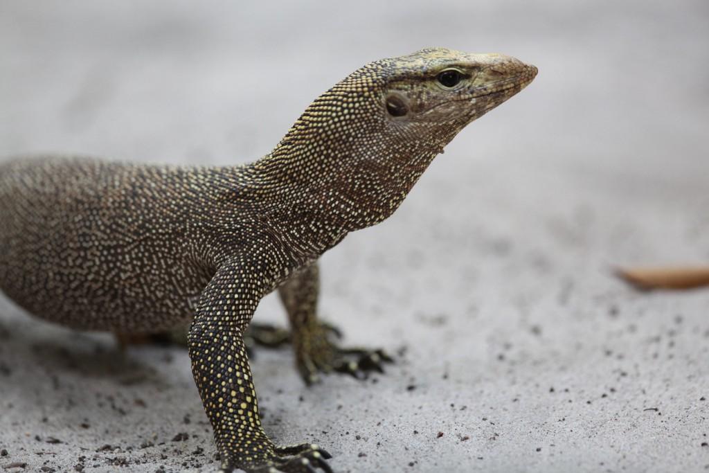Monitor lizard, Langkawi.