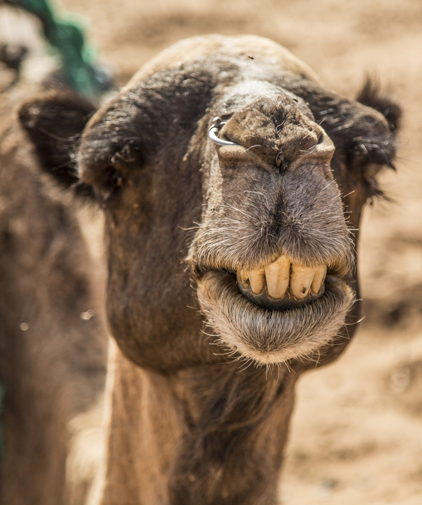 A close-up of a camel baring its teeth, Merzouga Desert, Sahara