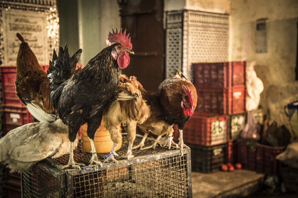 Chickens perched atop a small cage, Morocco