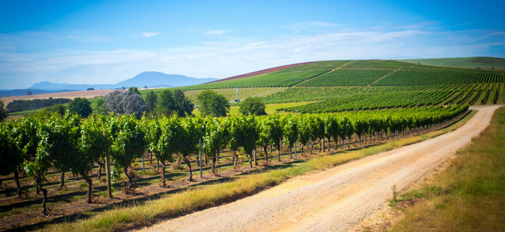 Vineyards stretching into the distance in Tasmania, Australia