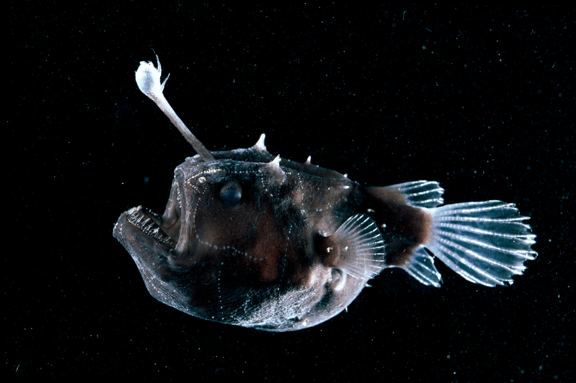 Deep Sea Creatures  Anglerfish