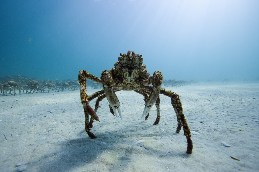 Spider Crab
