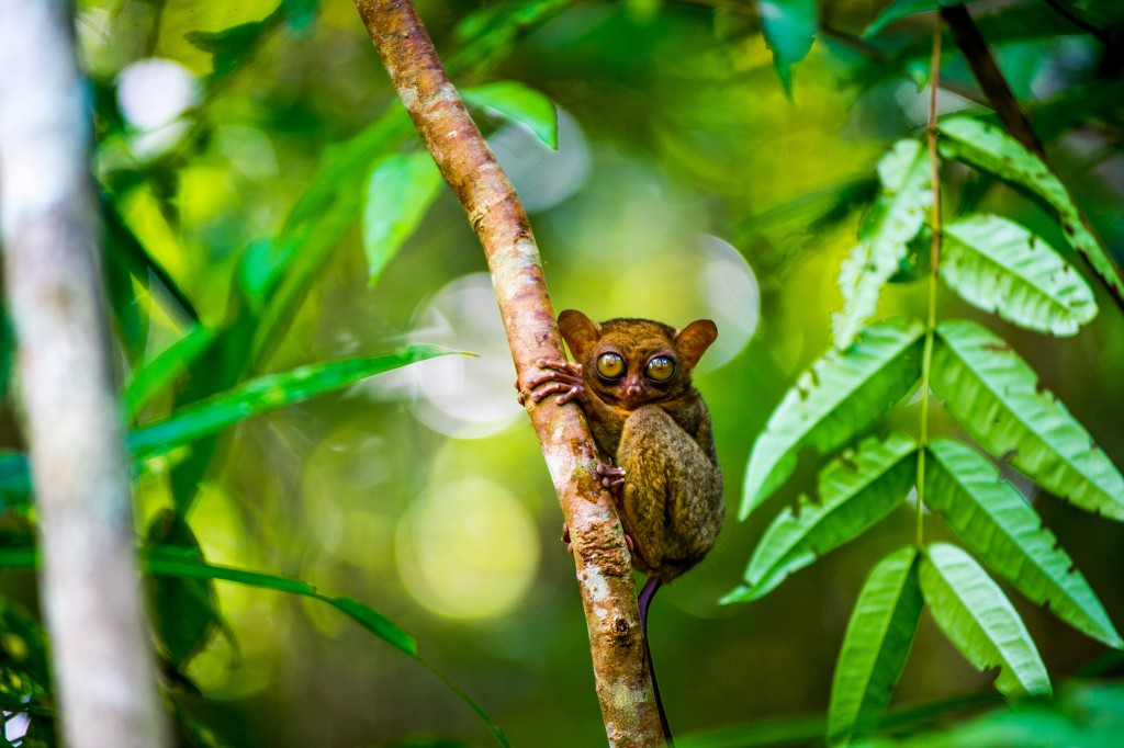Tarsier