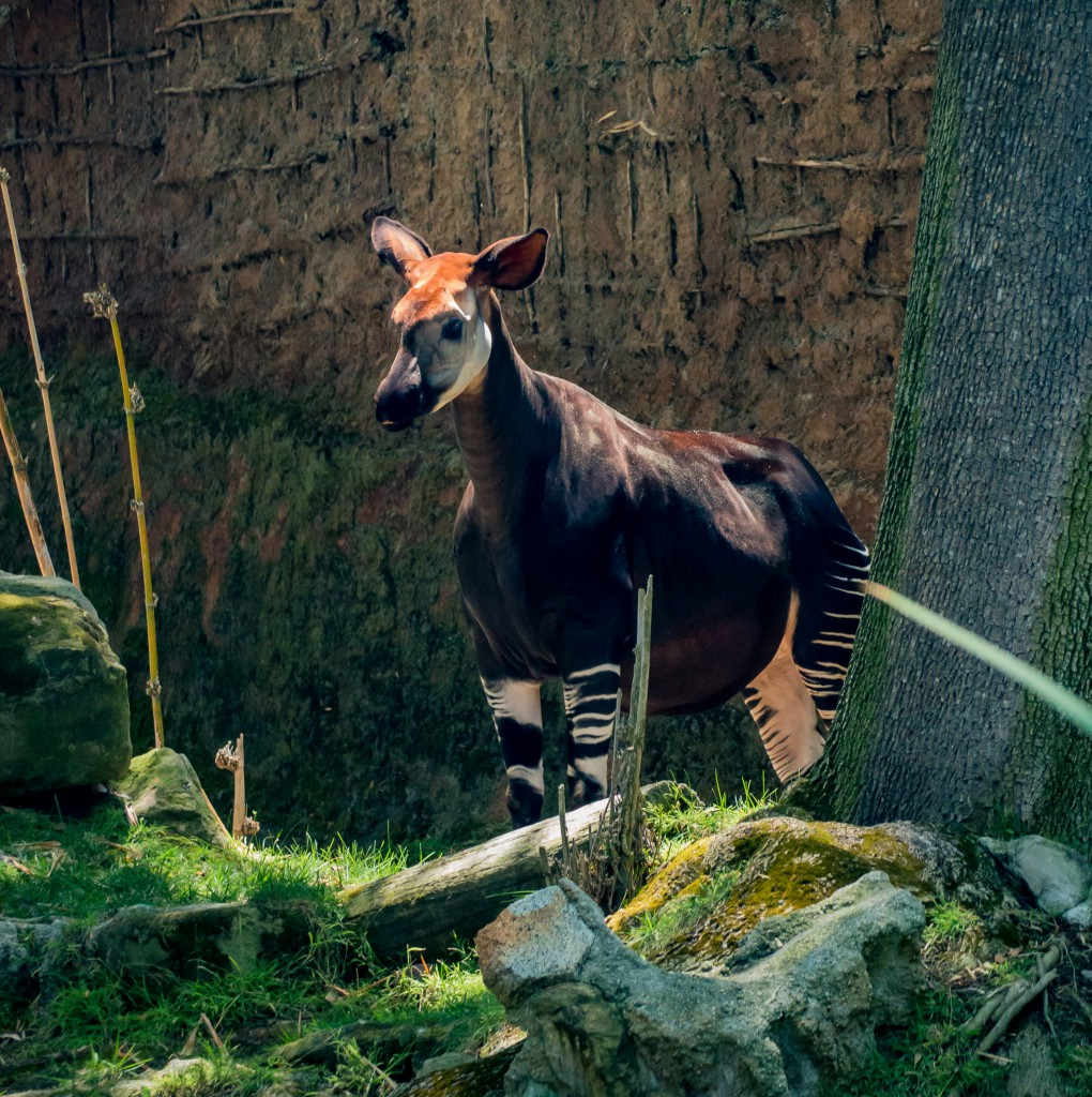 Okapi Long thought to be a mythological creature, the shy and elusive okapi lingers deep within tropical African rainforests. This endangered species relies on secluded areas of dense foliage to conceal itself from predators. The okapi boasts a unique blend of zebra-like stripes and reddish-brown fur coat, with an elongated neck and long black tongue resembling those of a giraffe, used for wrapping around hard-to-reach leaves and foraging forest floors. The Democratic Republic of Congo claim this 'forest giraffe' as their national symbol, actively promoting and protecting the species from the distressing threat of extinction. Photo by Ryan Summers