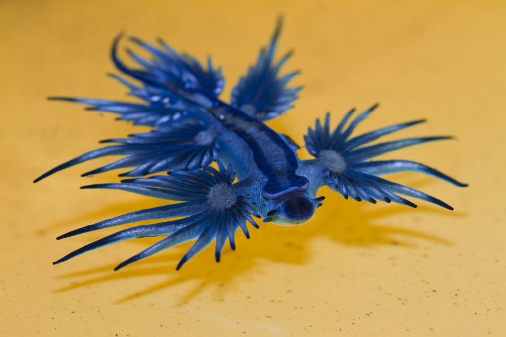 Glaucus atlanticus (Blue sea slug) The mesmerising blue sea slug grows to no more than 3 centimetres in length and uses a gas-filled air bubble to float upside-down on the surface tension of the waters of the Pacific, Atlantic and Indian Oceans. The beauty and size of this tiny blue dragon should not allow it to be underestimated, however. It is a ravenous predator, feeding off the oceans' highly venomous creatures, in particular the Portuguese man-o'-war. The blue sea slug can store and concentrate its prey's venom and stinging cells in its many tentacle-like fingers, and uses them to deliver a painful sting when defending itself. Photo by Steve Passlow
