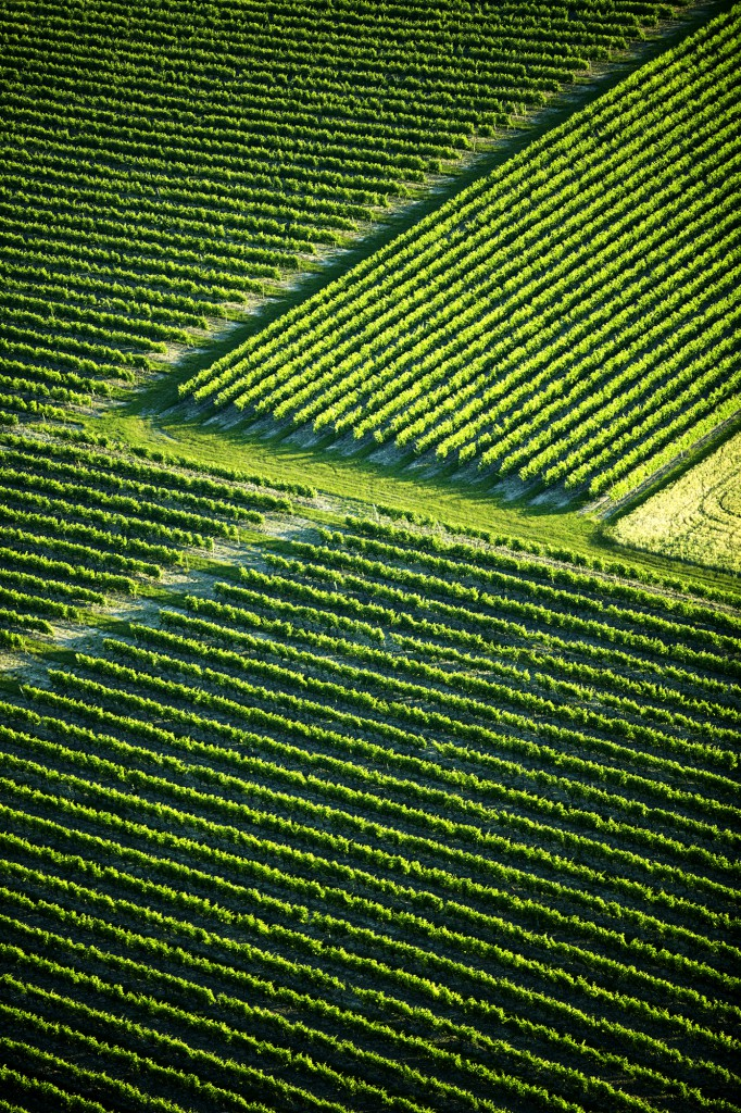 Aerial view of green rows of vines in Charente vineyards, Cognac, France