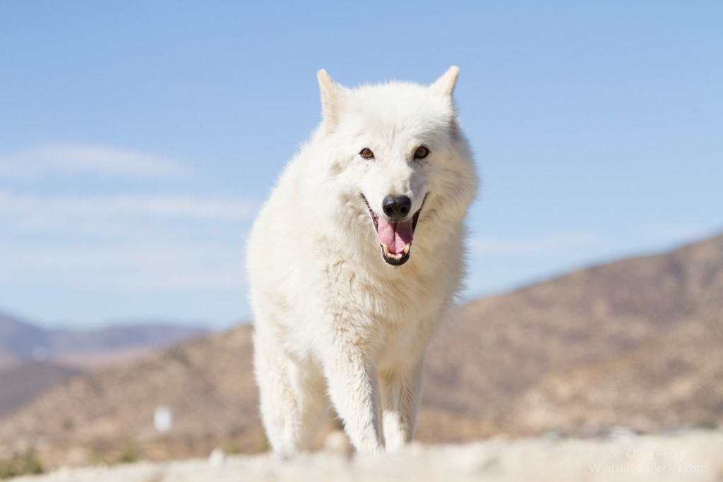Maya, an original pack member and the quintessential alpha female. Wolf Connection, Acton, California. Photo by Chris Perry