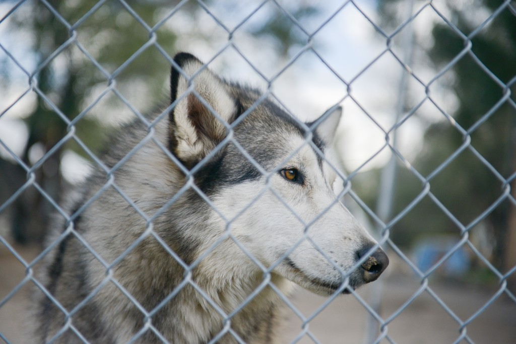 Wolfee. This affectionate animal joined Wolf Connection in Acton, California after being confiscated during a sting operation – he had been traded for drugs. Photo by Sarah Prikryl