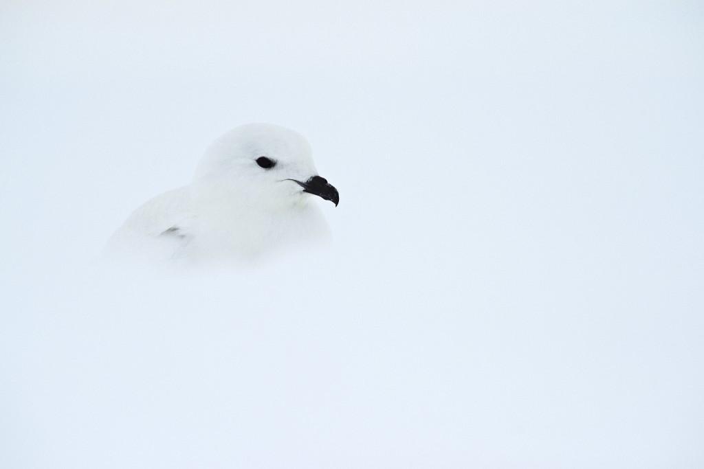 A snow petrel
