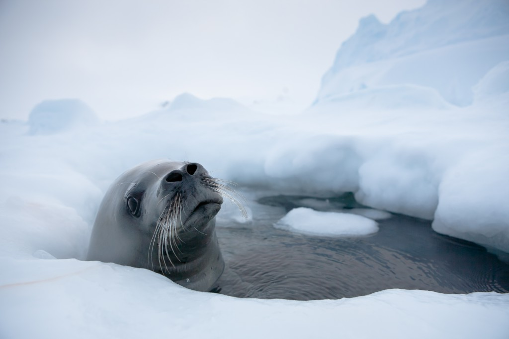 The head of a seal breaking through a hole in the ice