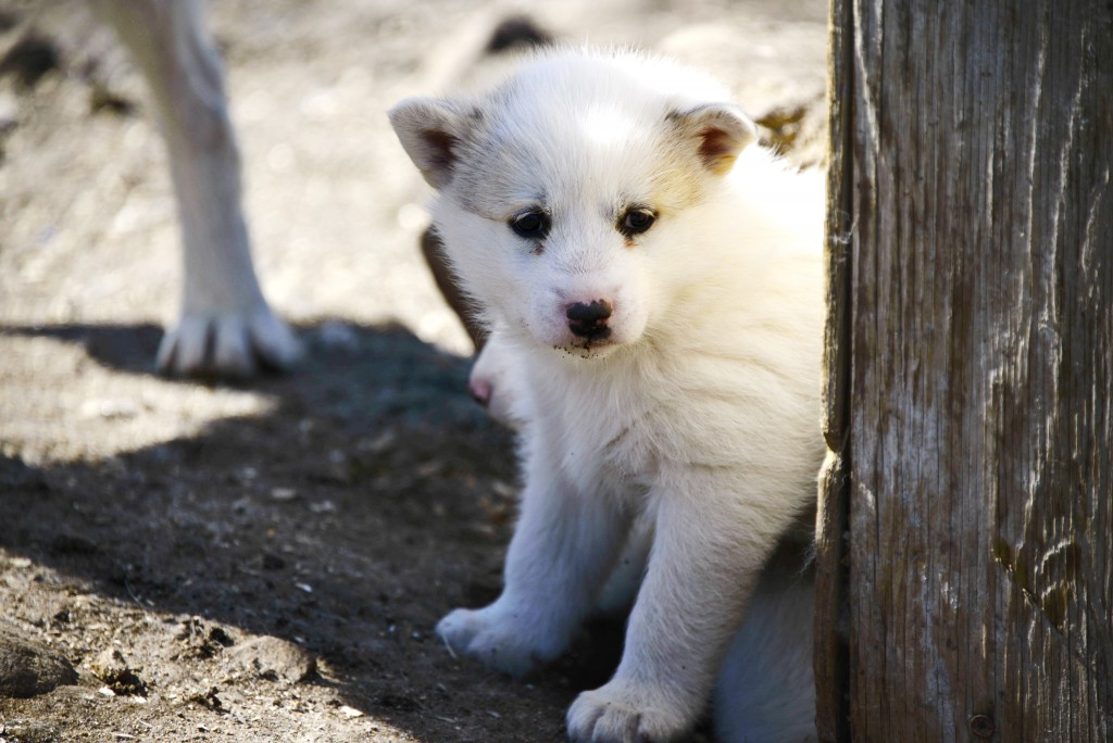Cute husky puppy peering around a wooden post, Greenland.