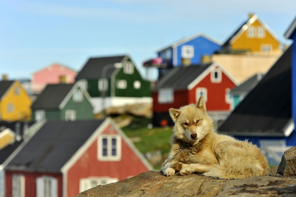 A husky lying on a wall with the brightly coloured houses of Kvaløya Island, Norway, behind it