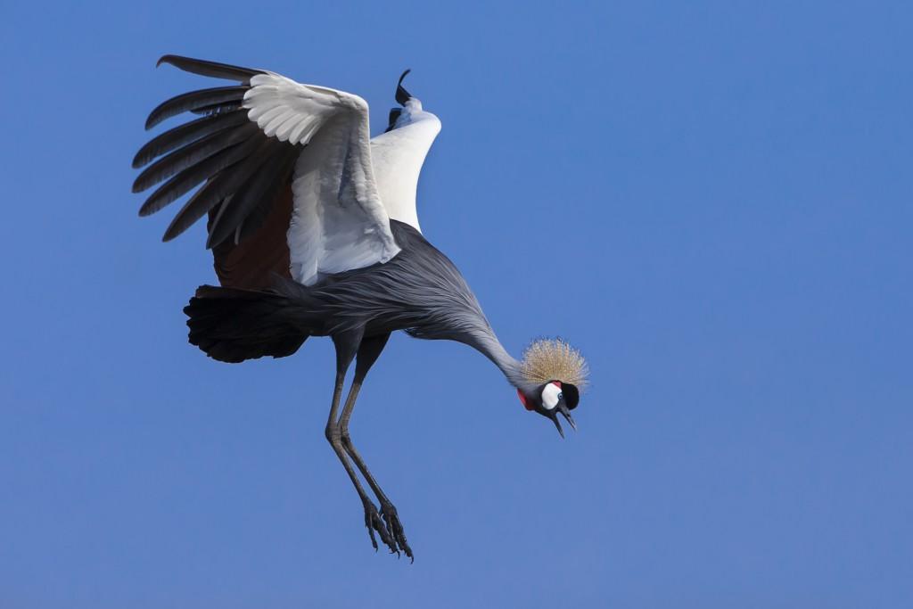 A grey-crowned crane. Photo by Mario Moreno