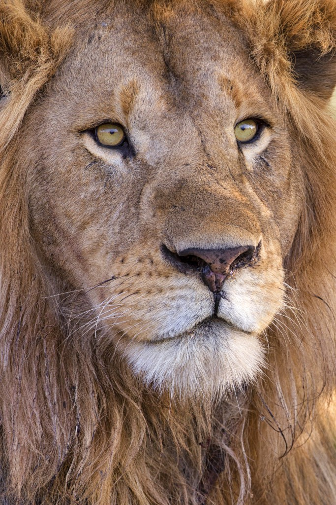 A close up portrait of a male lion. Image captured in Ndutu, Ngorongoro Conservation Area. Photo by Mario Moreno