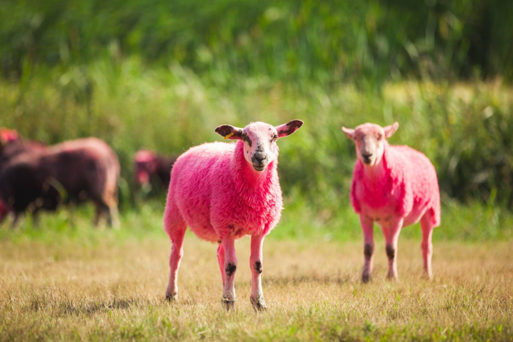 Two of Latitude Festival's iconic pink-coloured sheep