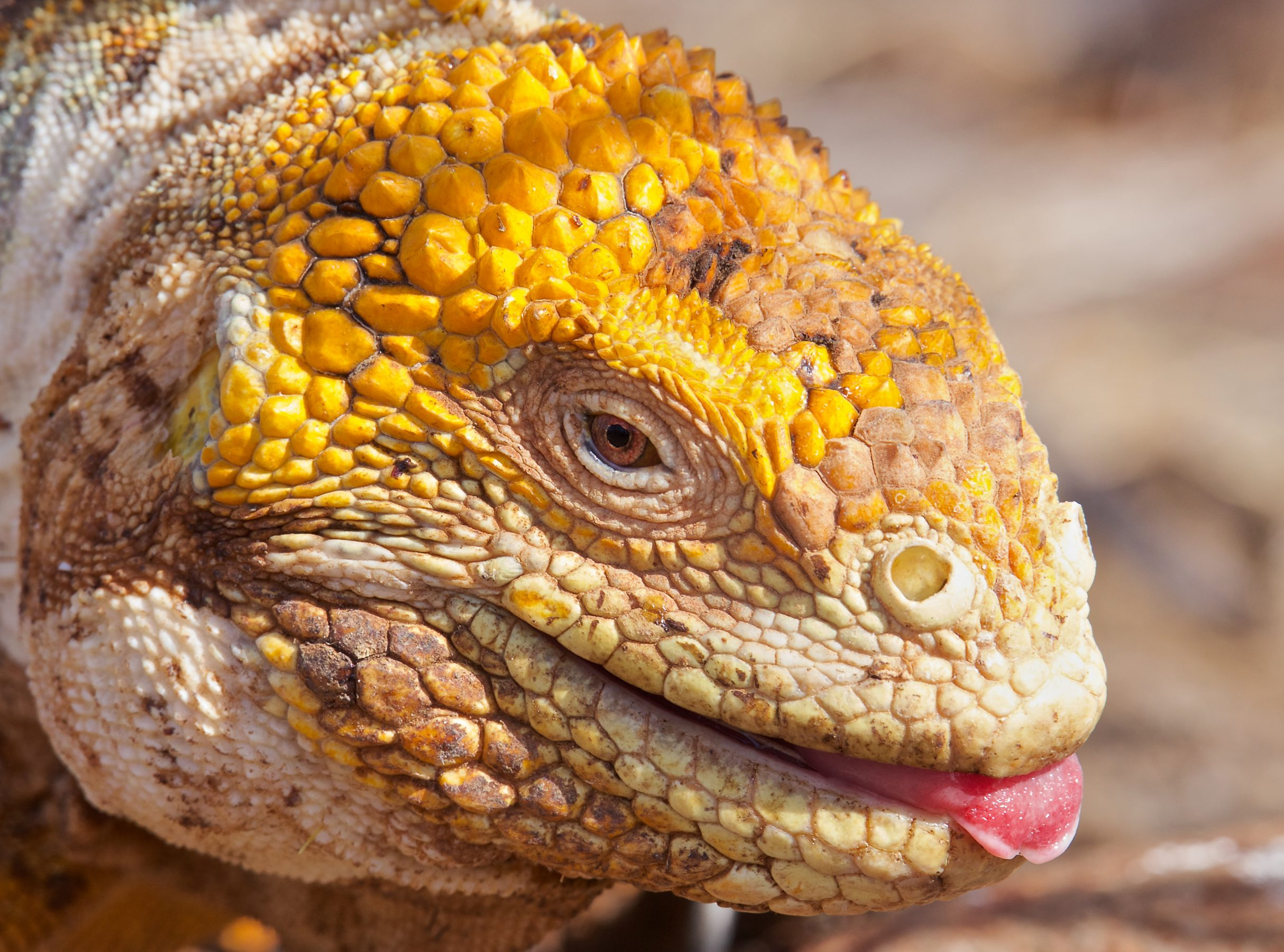 The face of a land iguana close up