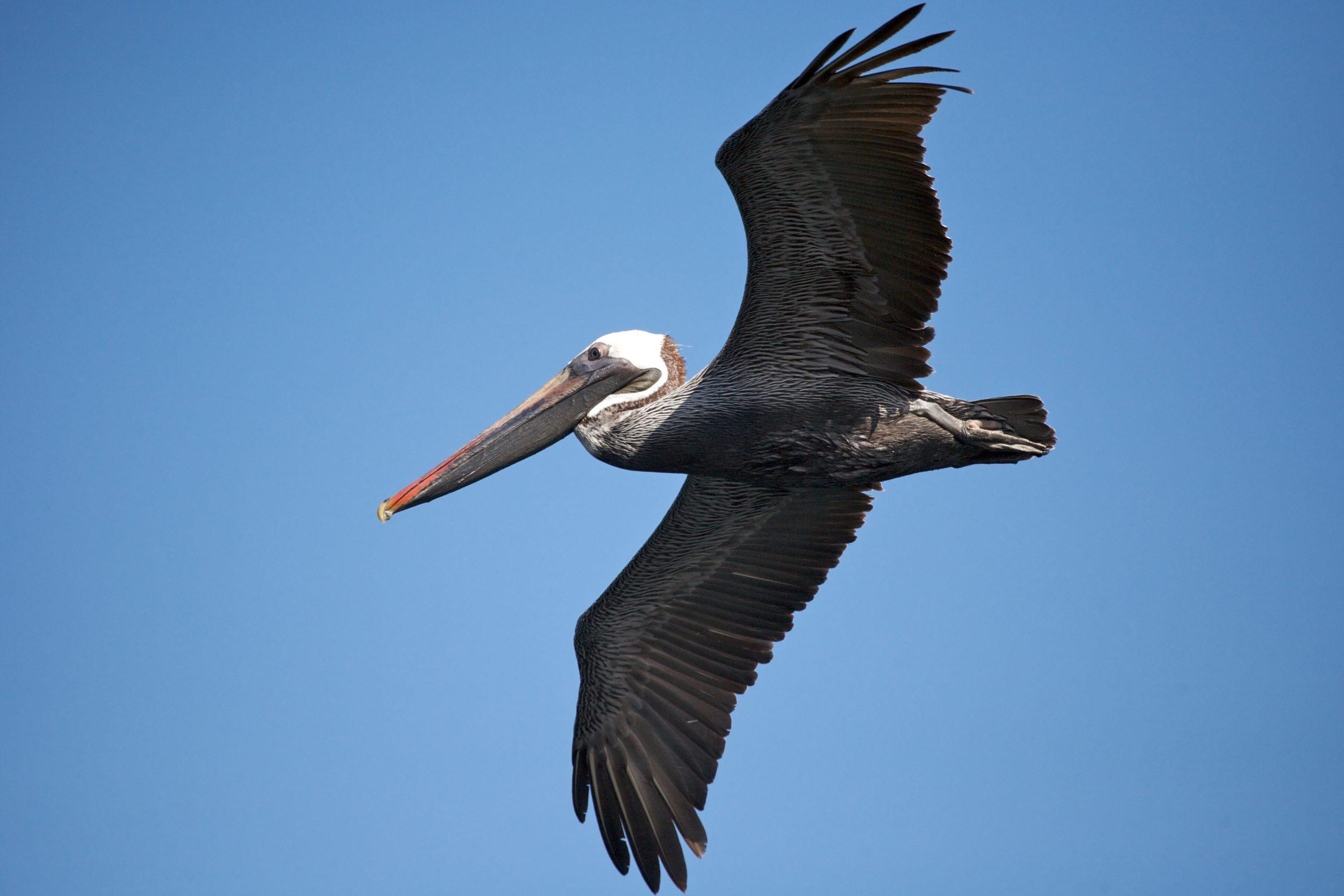 A pelican in flight, Galapagos