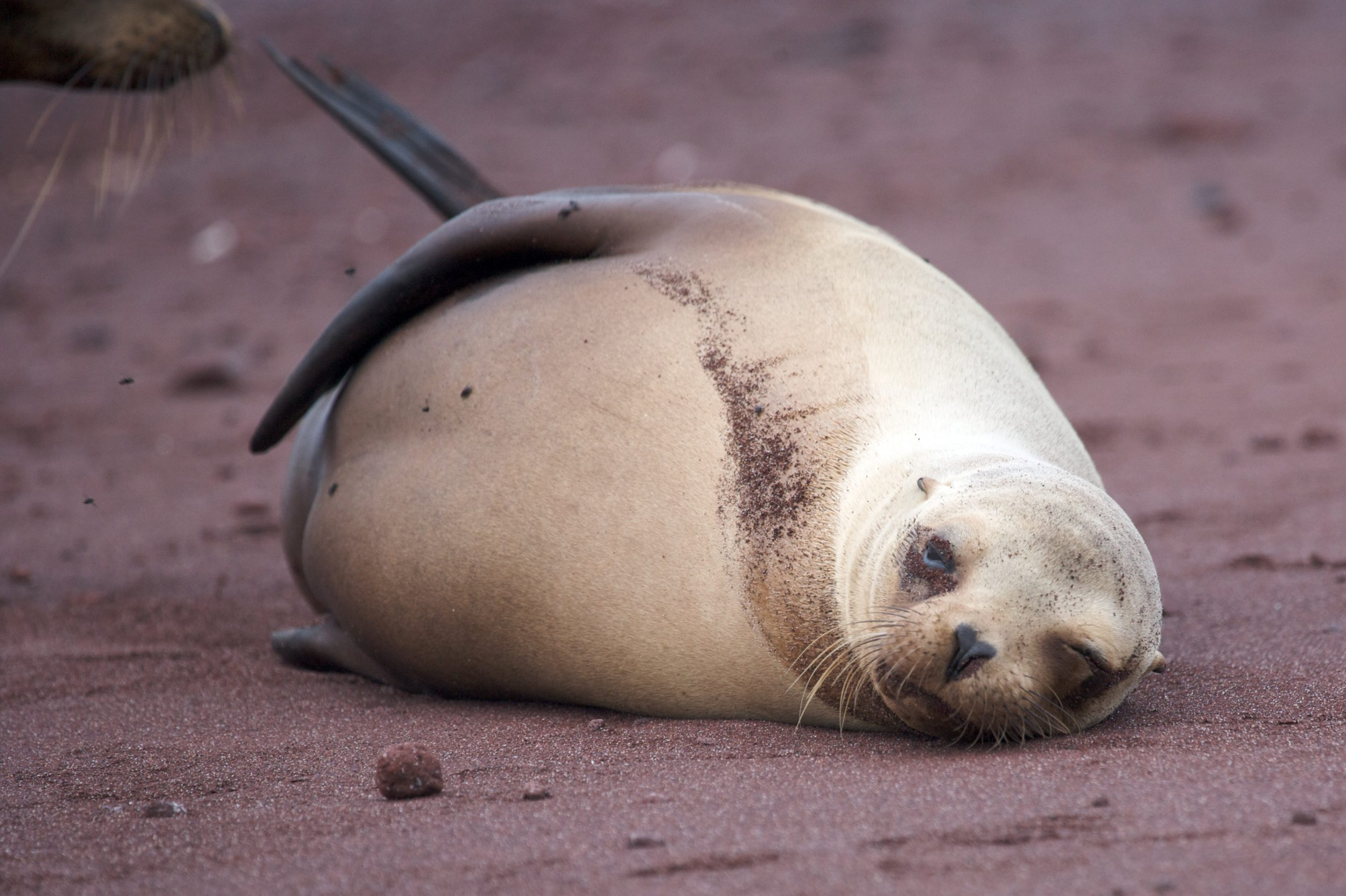 A sea lion lying on sand