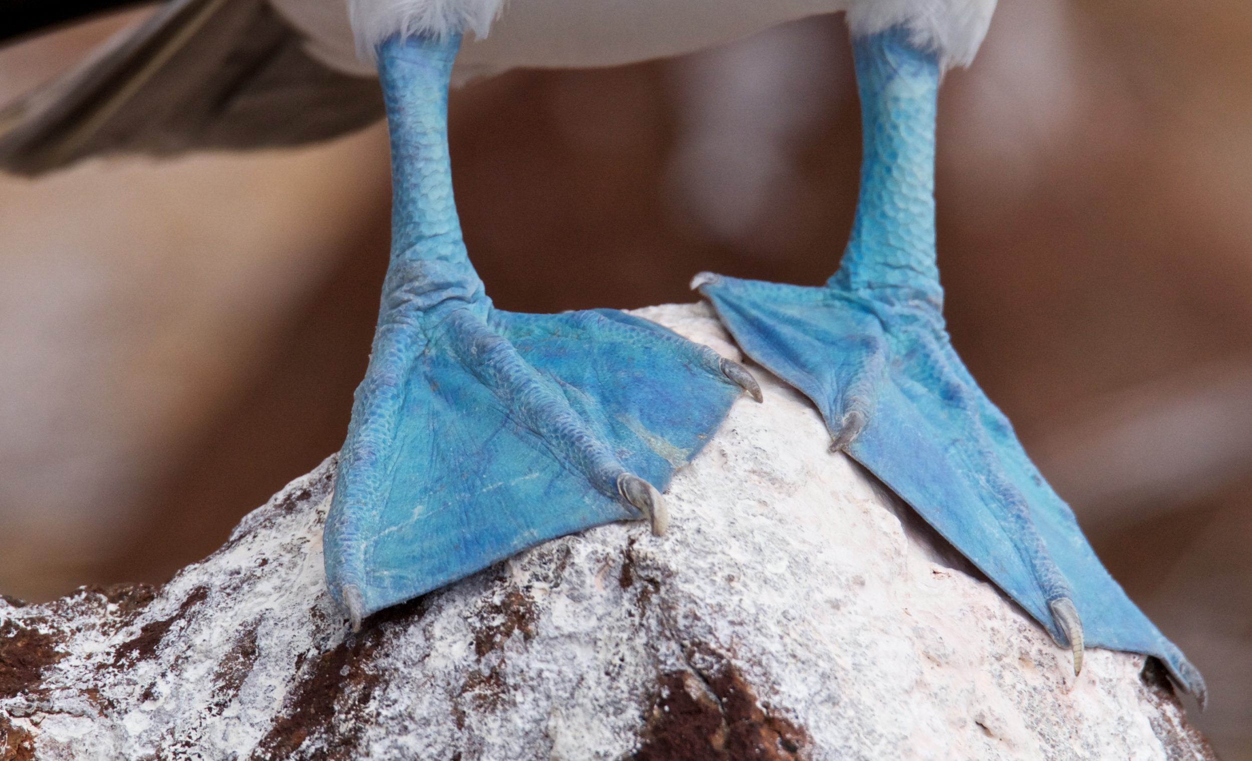 The feet of the blue footed booby bird