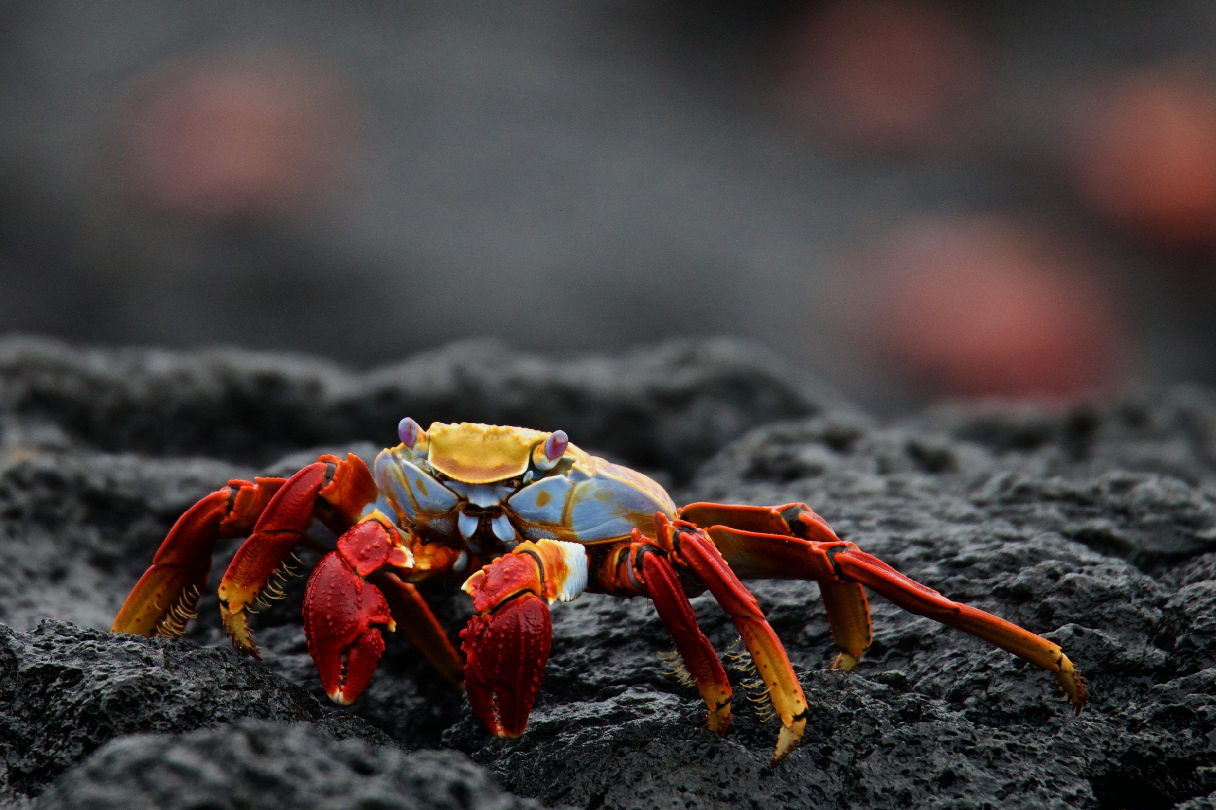 A close up of a Grapsus grapsus crab in Galapagos
