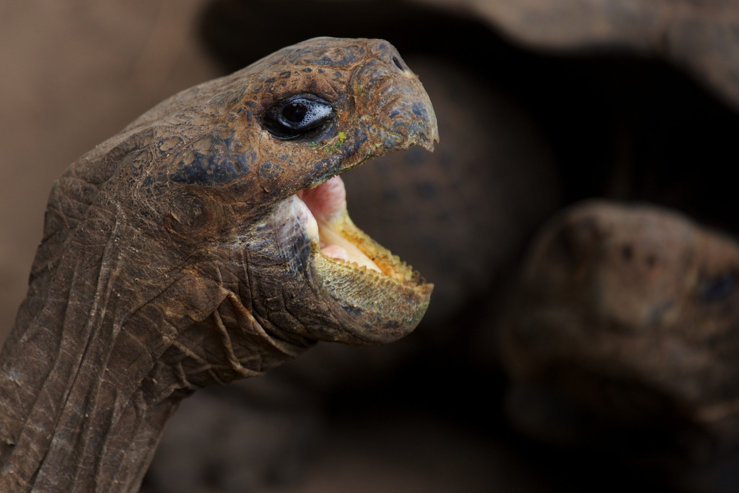 The head of a Galapagos tortoise