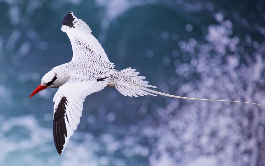 A red-billed Tropicbird in flight