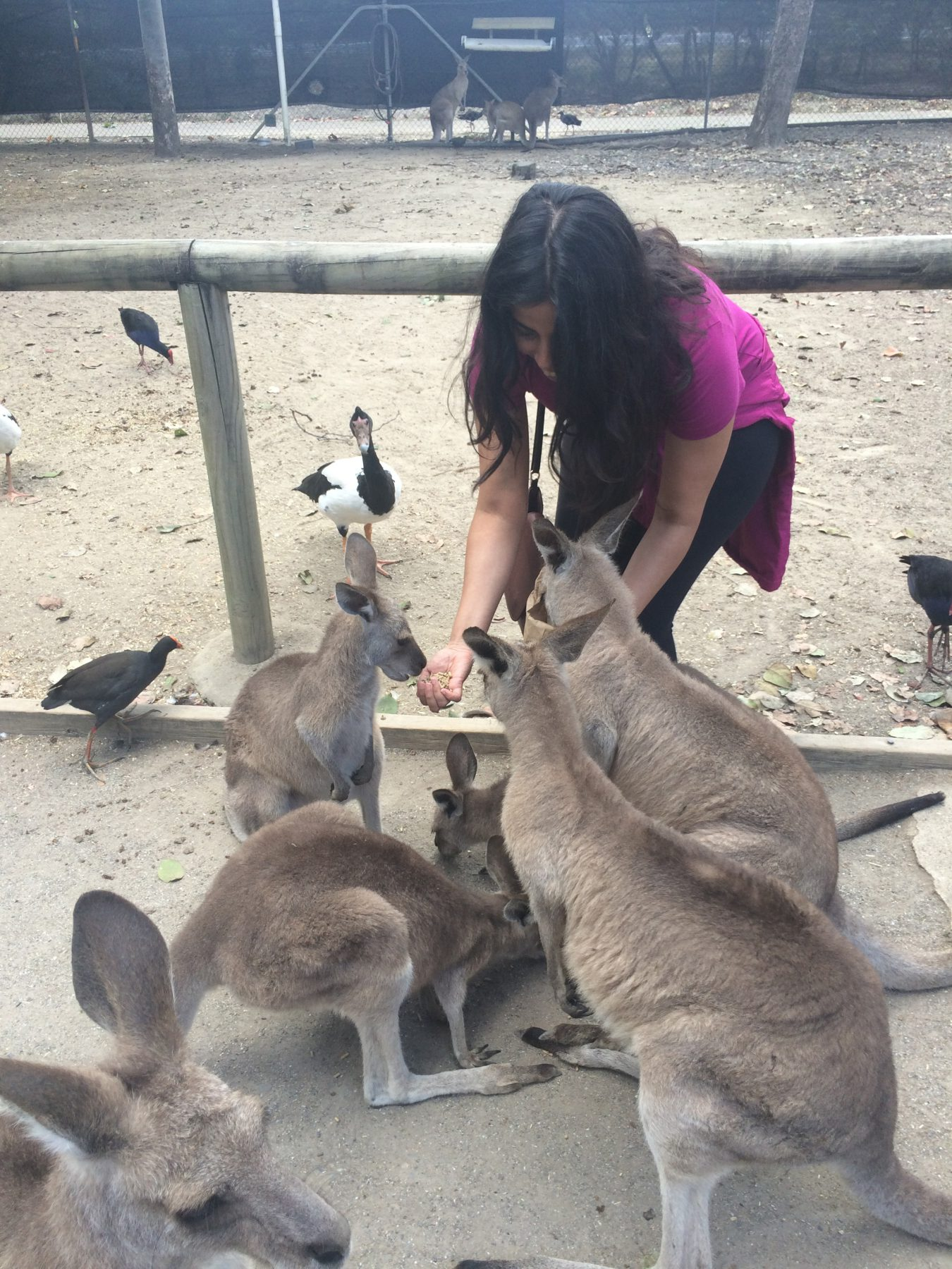 Hermine, the author feeding kangaroos at the Daintree Wild Zoo