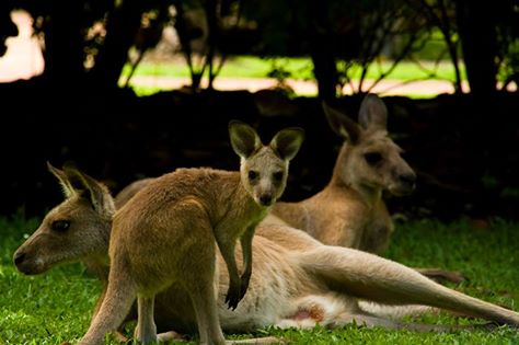 Kangaroos at Daintree Wild Zoo
