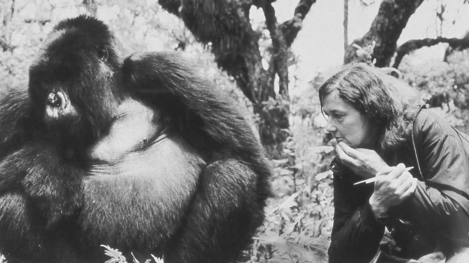 Dian Fossey crouched by a large gorilla in the jungle, observing it