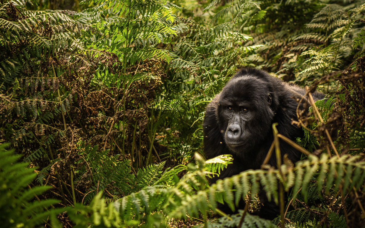 Mountain Gorilla walking through fern vegetation in Uganda