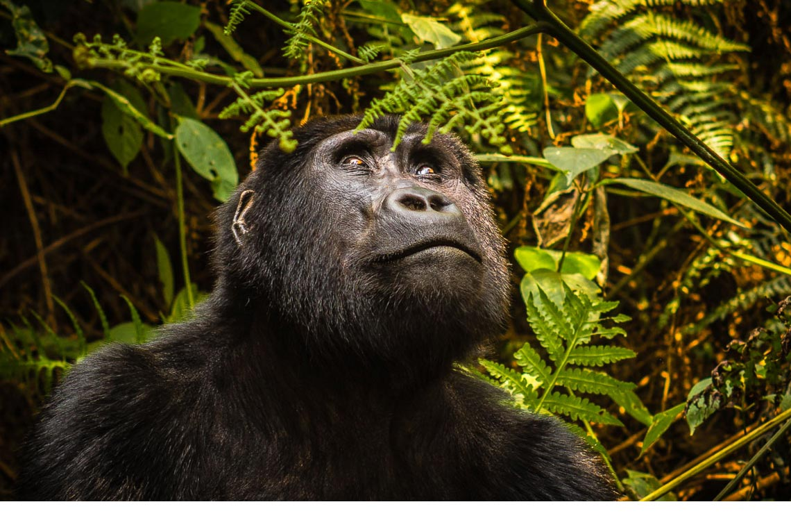 King of the Jungle: <br>Gorilla Trekking in Central Africa