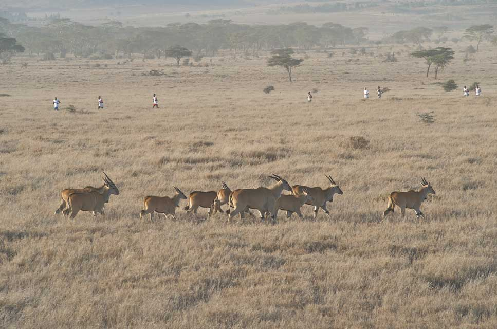 A group of antelopes crossing the plain with runners in the distance during the Safaricom Marathon