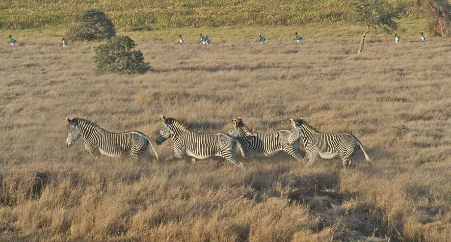 A group of four zebras running through the grass with runners in the distance in Lewa Wildlife Conservancy during the Safaricom Marathon