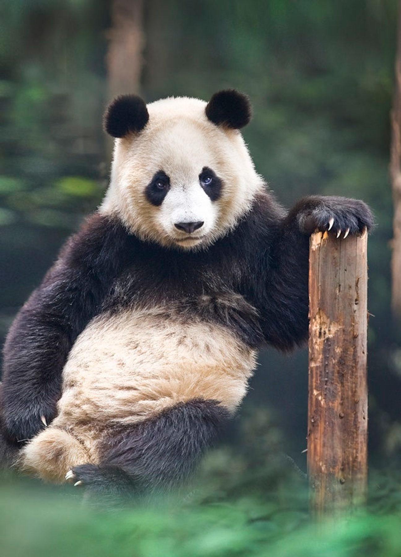 Portrait of a panda, Chengdu, China.