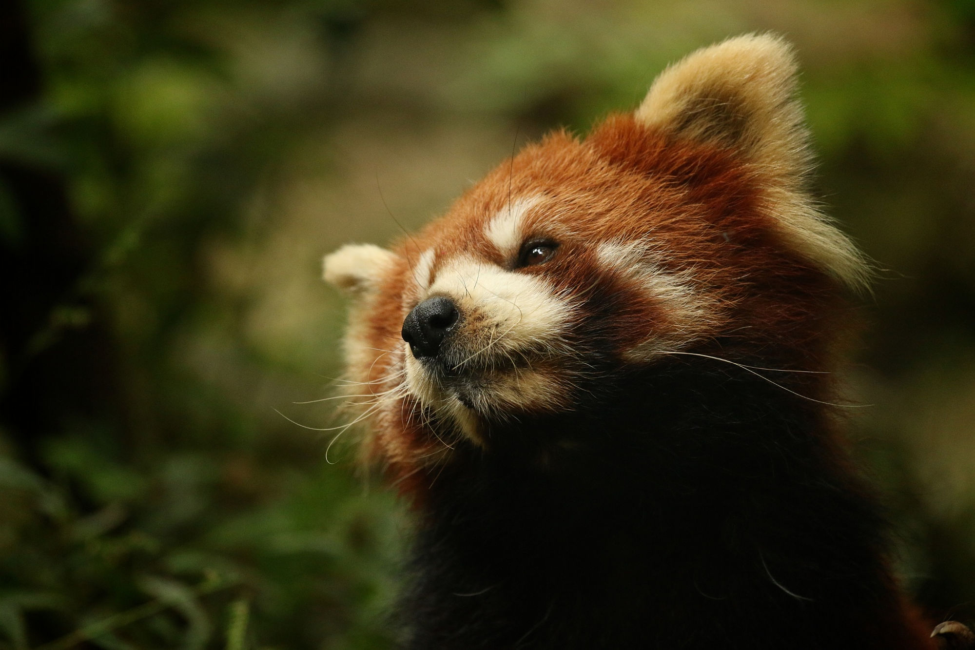 One of many red pandas at the Chengdu Panda Research centre