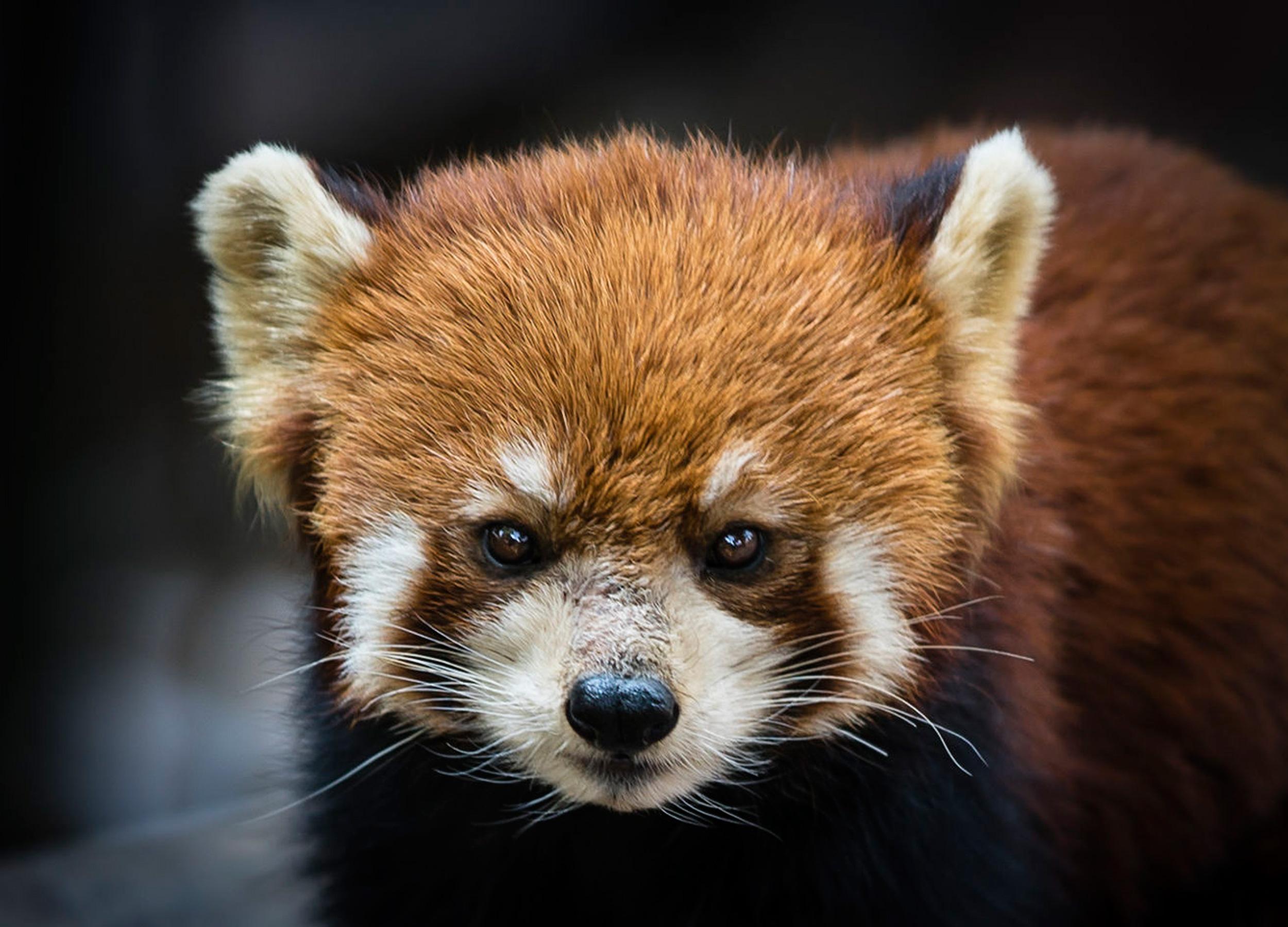 Red Panda at Chengdu Sichuan Panda breeding centre