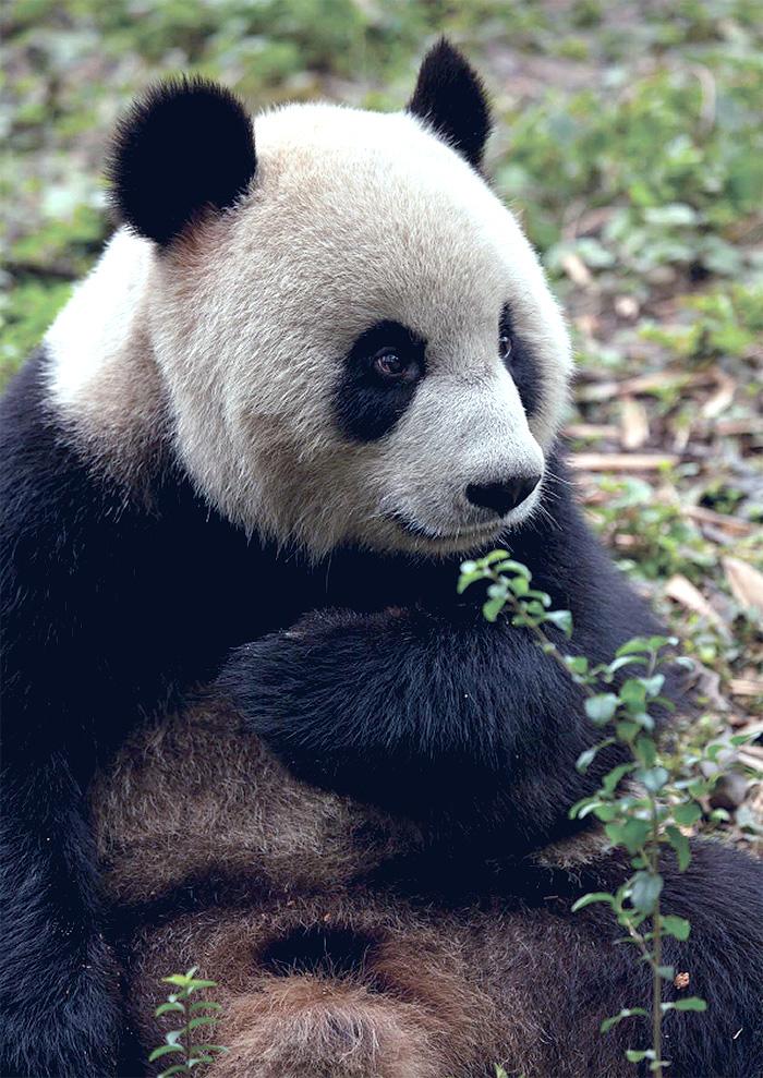 Portrait of a panda. Photo by Simon Dean.