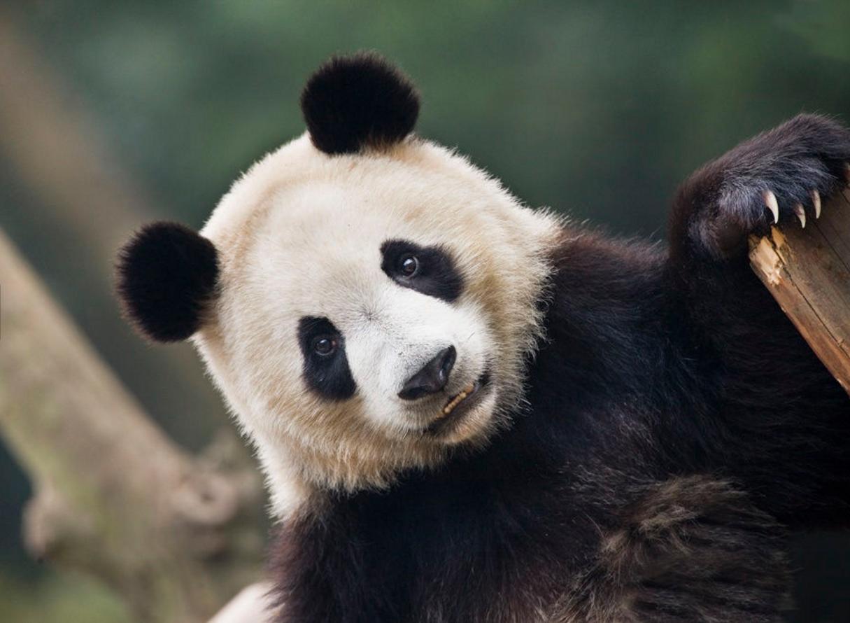A Resort of Their Own: Chengdu Panda Base