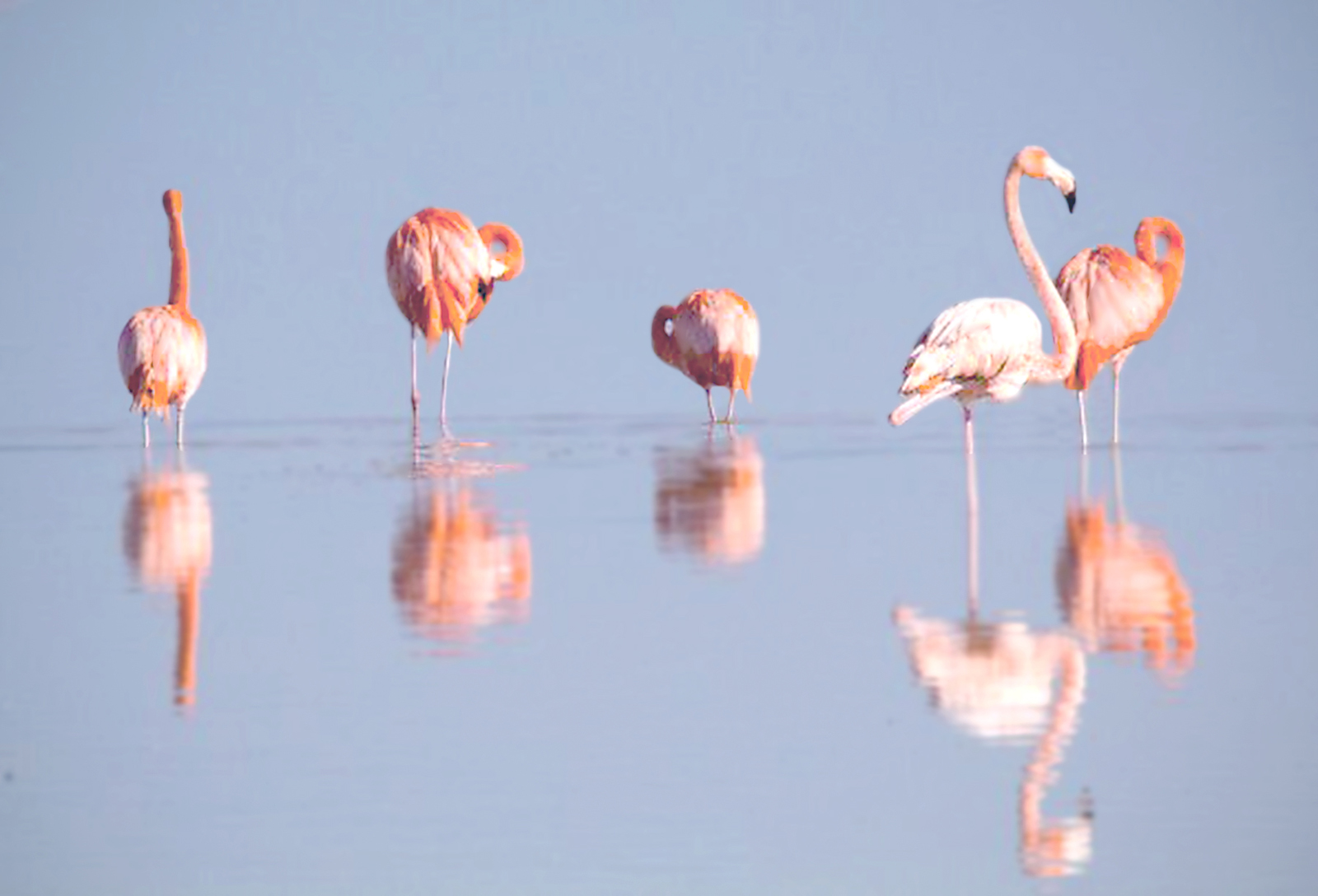 Five pink flamingoes reflected in the water they are standing in seen on a Rio Lagartos EcoTour