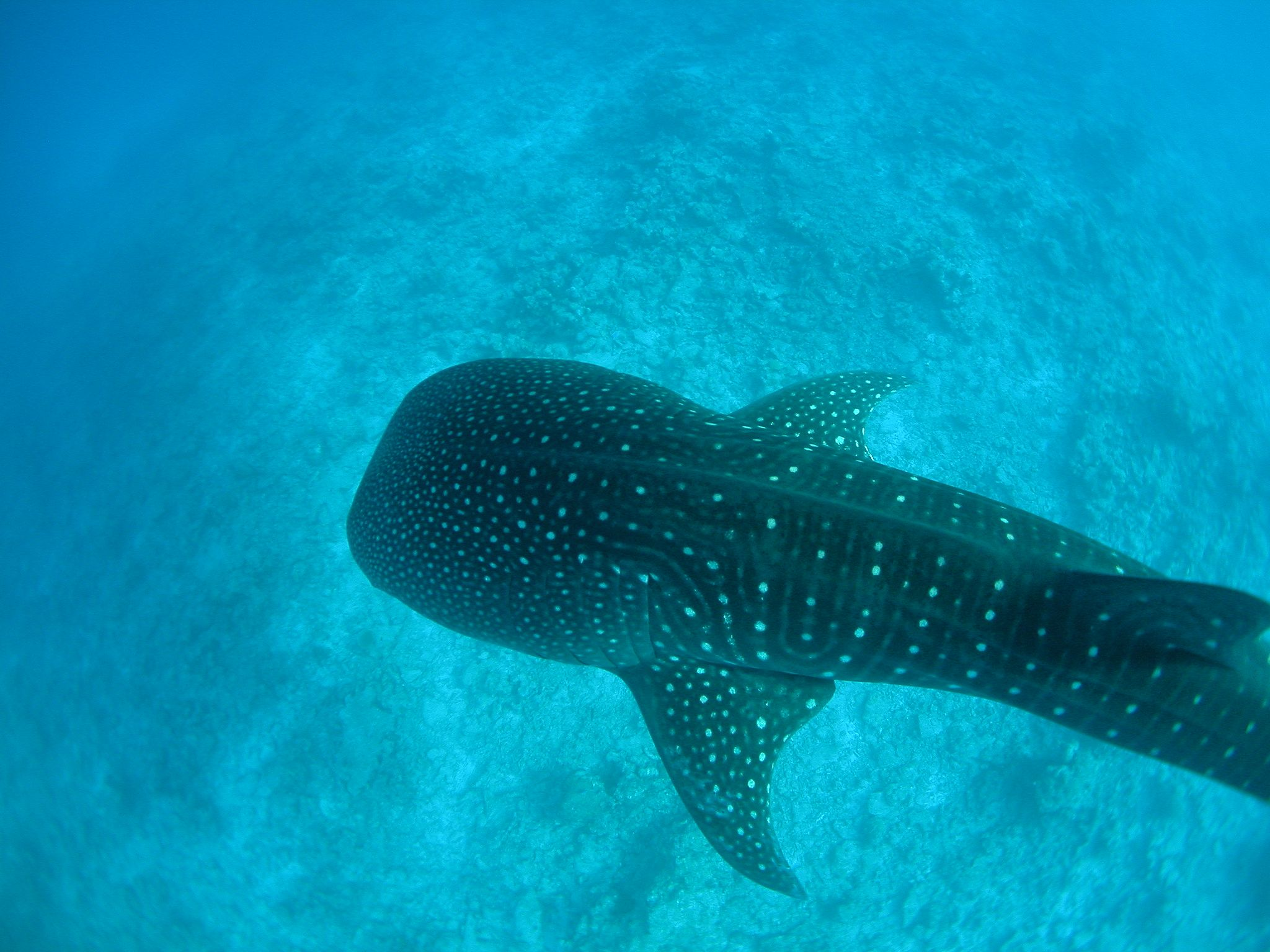 A spotted whale shark seen from above in a very clear, blue sea, Holbox