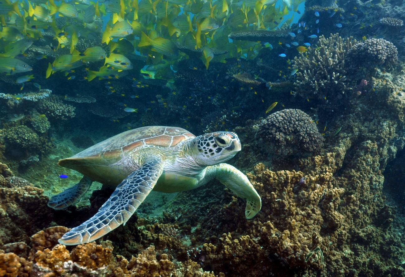 Sea turtle by the beachfront at the beachfront by Sheraton New Caledonia Deva Resort and Spa.