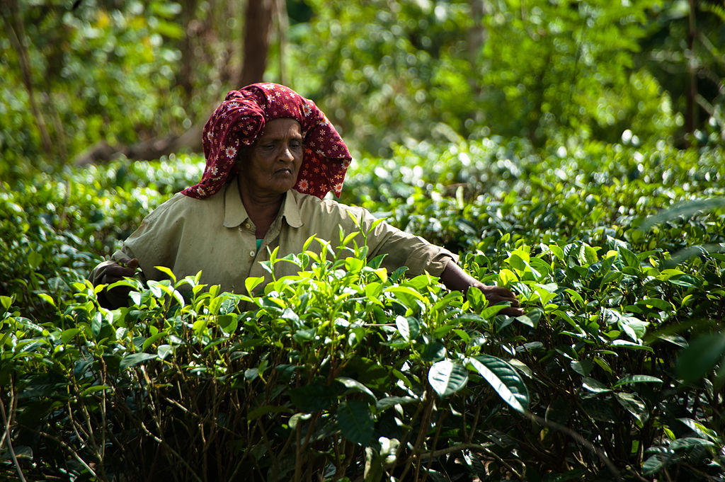 Woman with a red headscarf amongst tea bushes picking leaves, Bogawantalawa Valley, central Sri Lanka