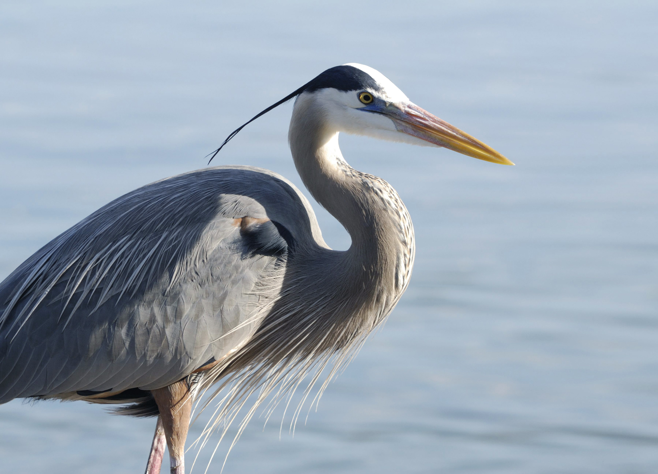 Close up of a great blue heron standing in water at the Sian Ka'an Biosphere Reserve