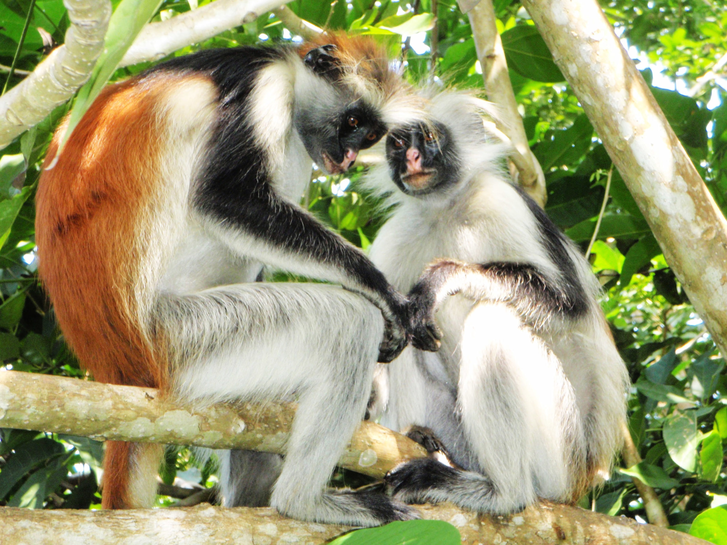 Two red colobus sitting in the trees, Jozani Chwaka Bay National Park in Zanzibar