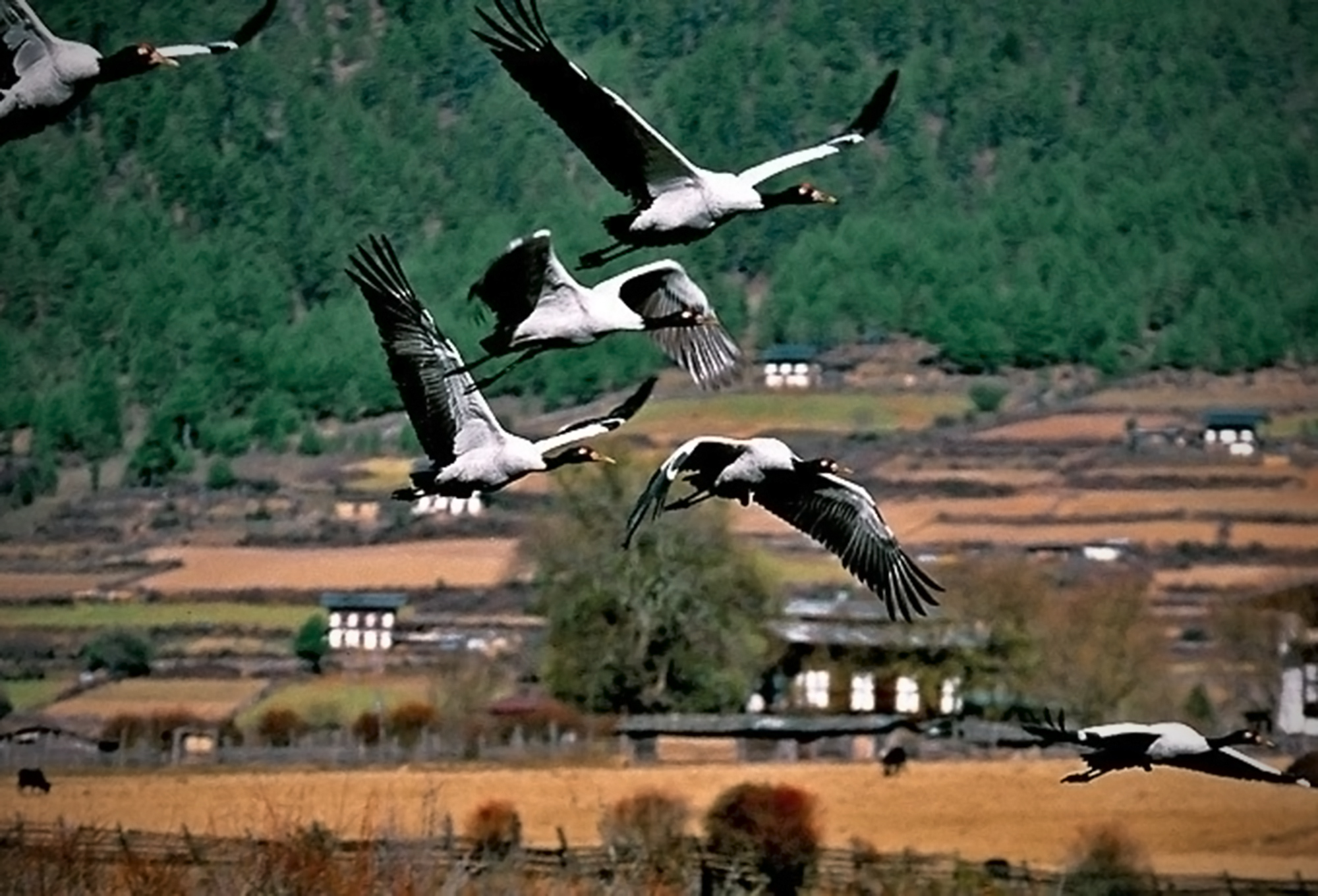 Six endangered black neck cranes mid-flight against a backdrop of sloping brown fields, Bhutan