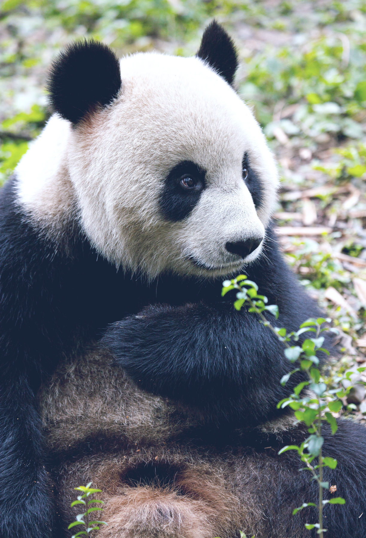 Close up of a sitting panda